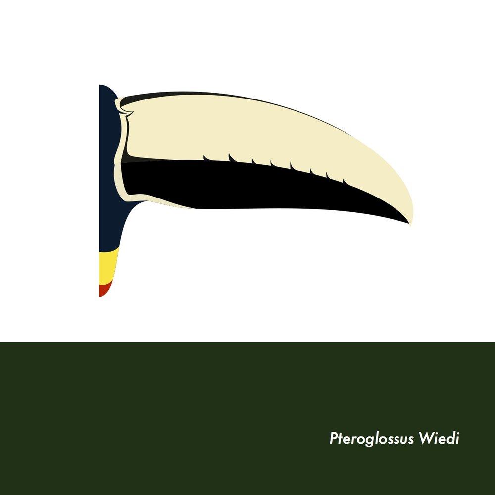 16-PteroglossusWiedi.jpeg