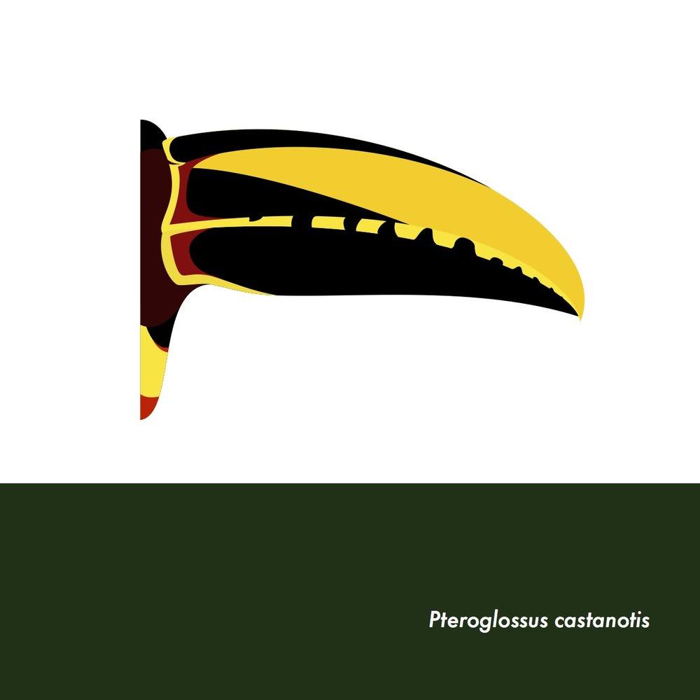 19-PteroglossusCastanotis.jpeg
