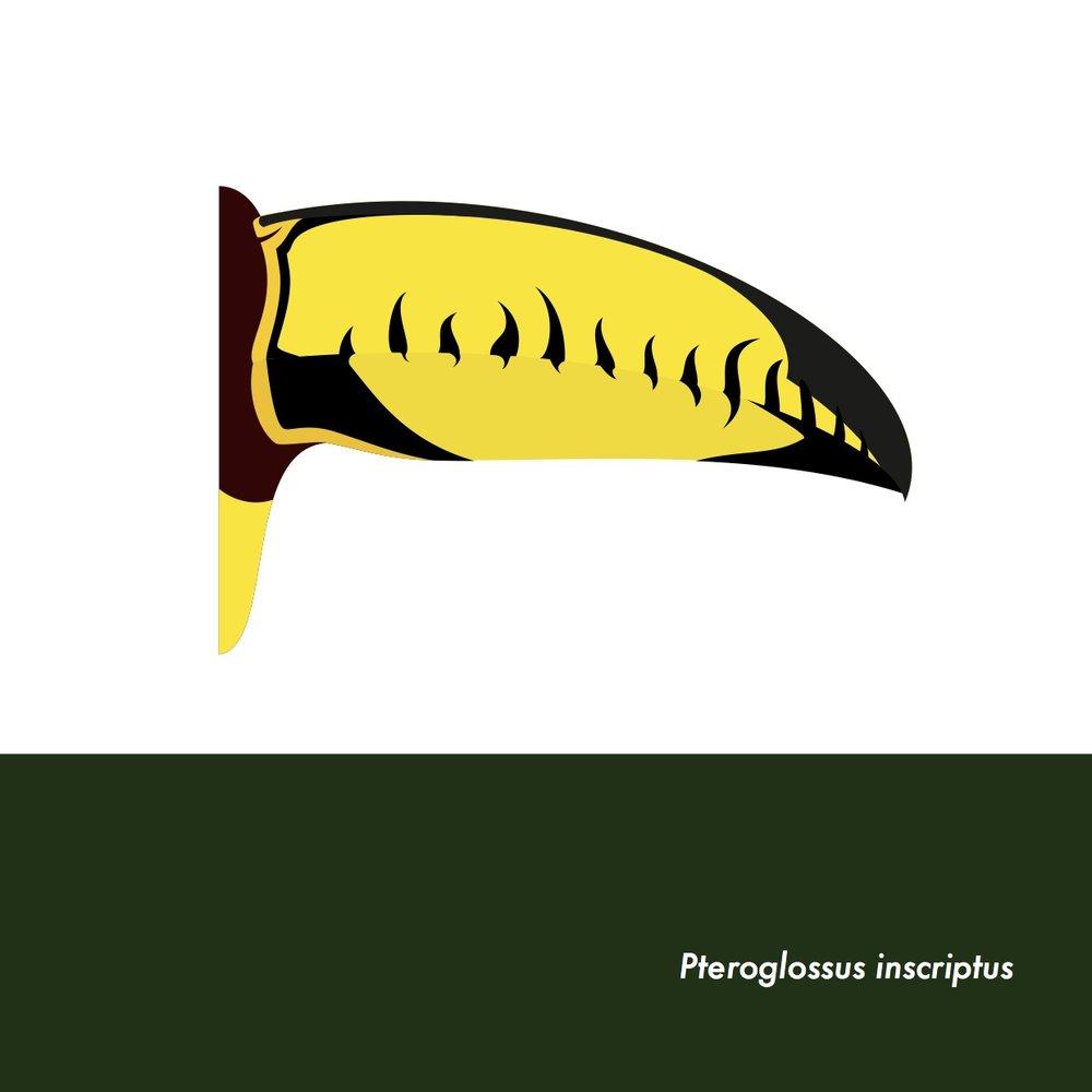 23-PteroglossusInscriptus.jpeg