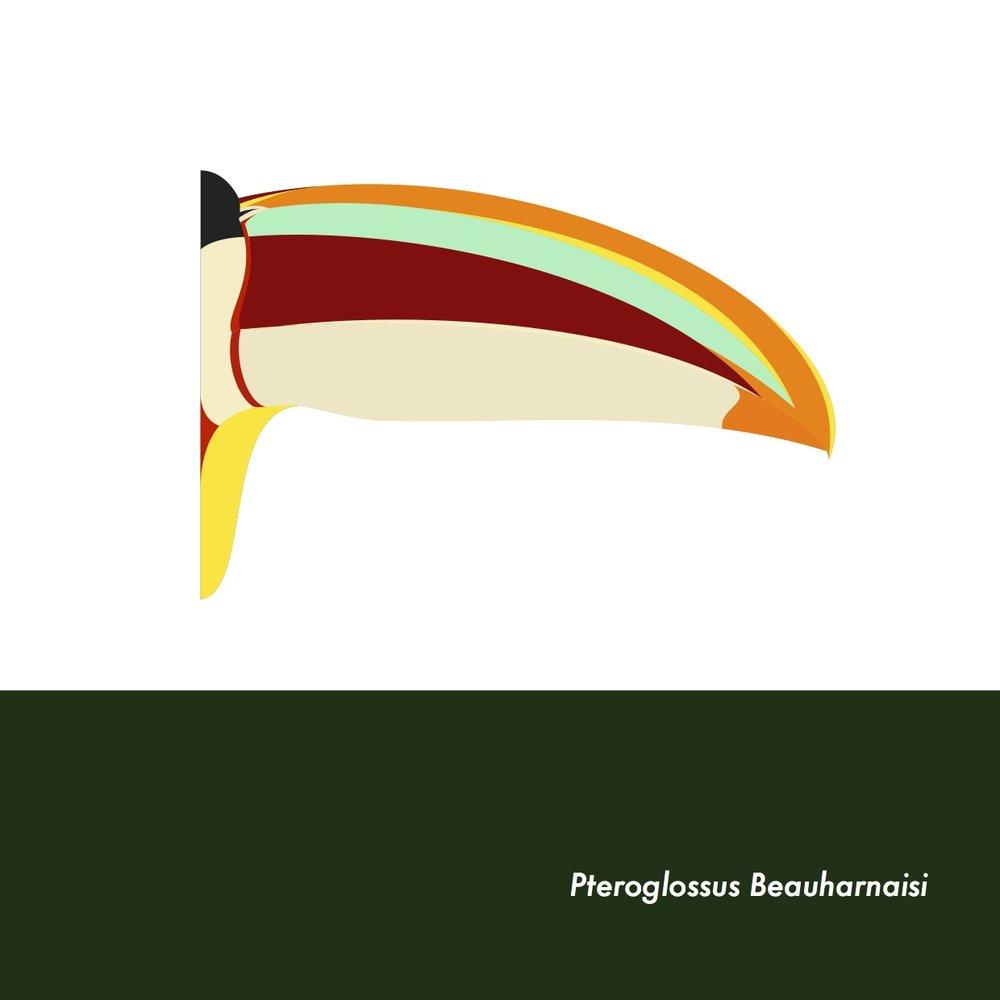 25-PteroglossusBeauharnaisi.jpeg
