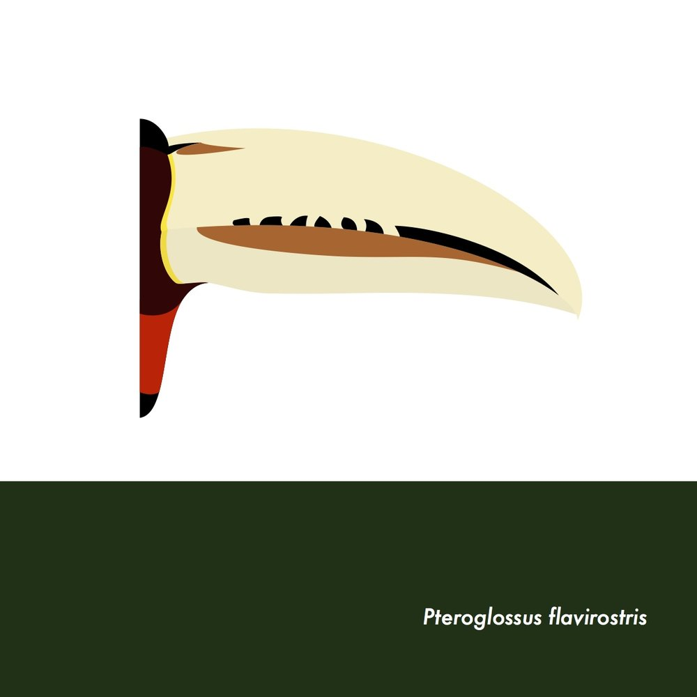 29-PteroglossusFlavirostris.jpeg