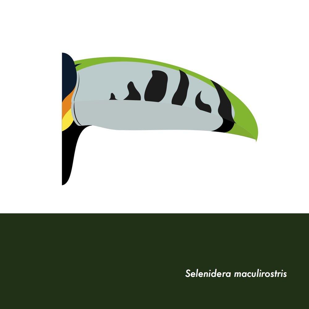 31-SelenideraMaculirostris.jpeg