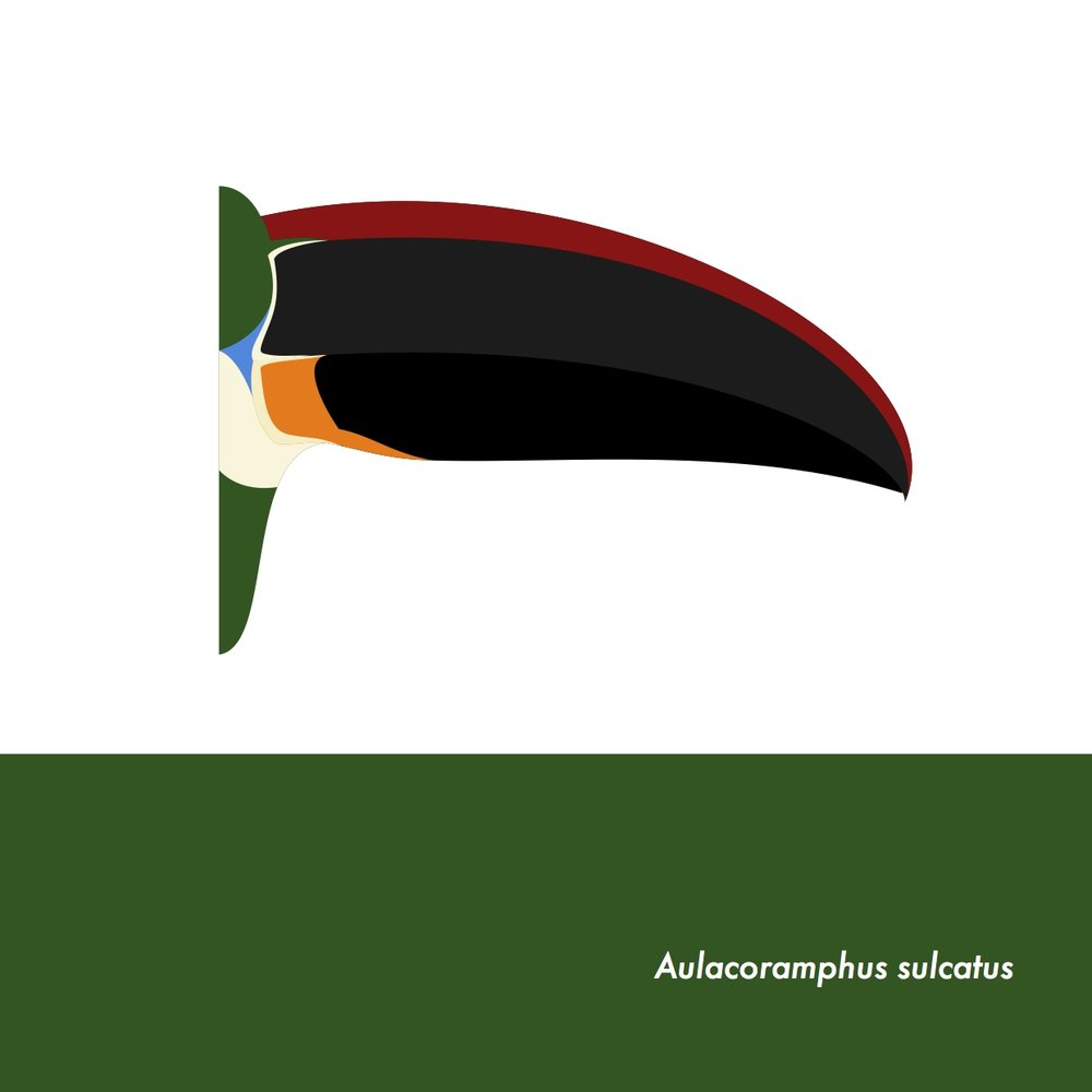 42-AulacoramphusSulcatus.jpeg