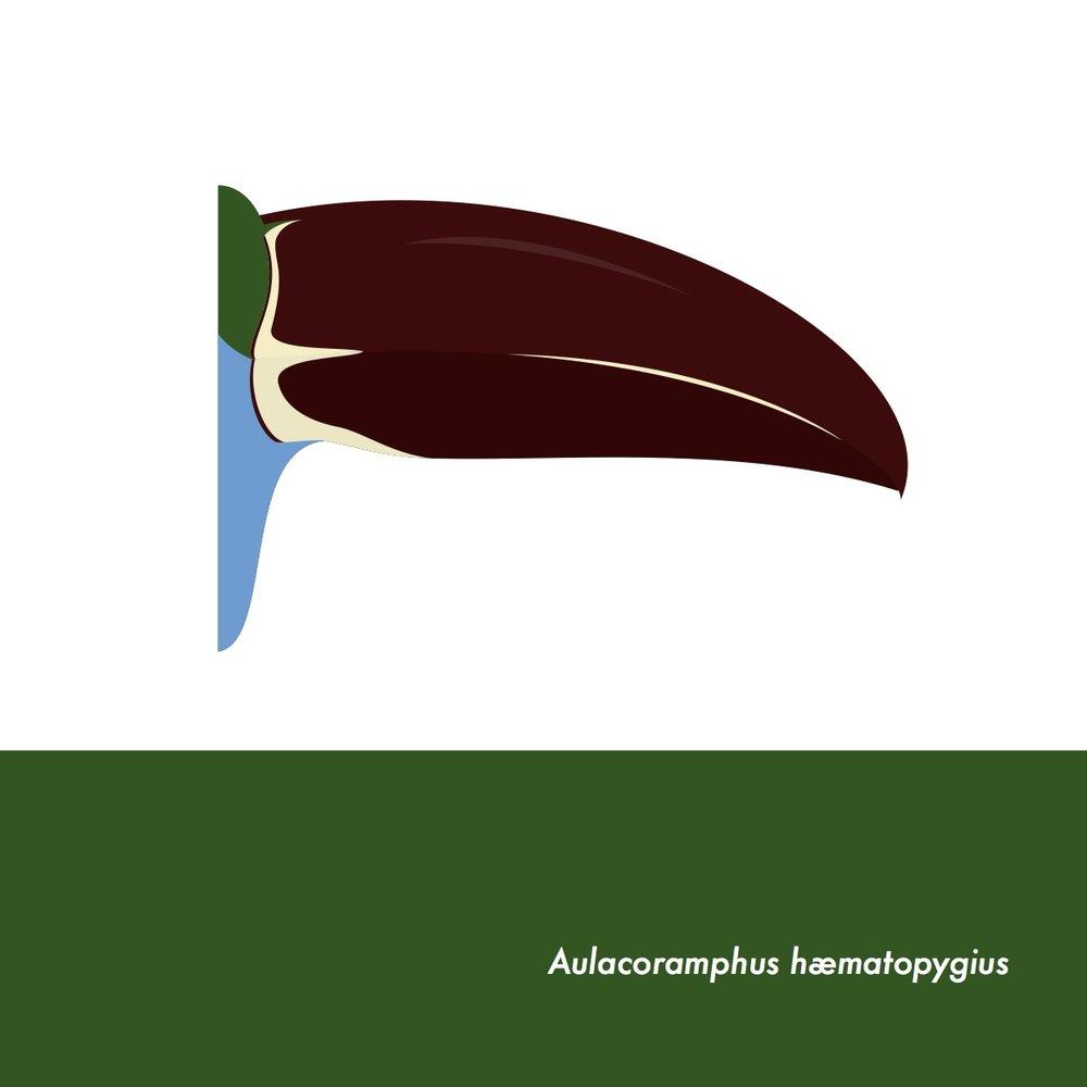 45-AulacoramphusHaematopygius.jpeg
