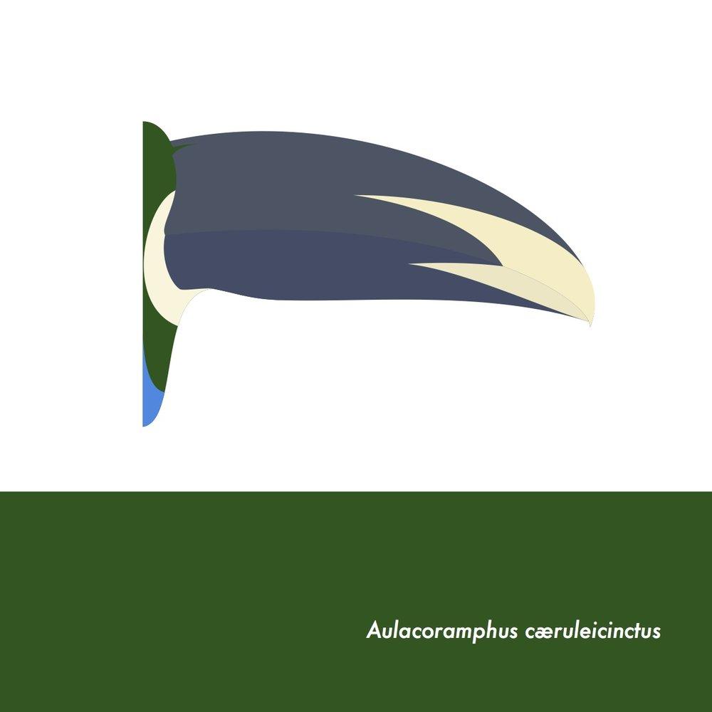 46-AulacoramphusCaeruleicinctus.jpeg