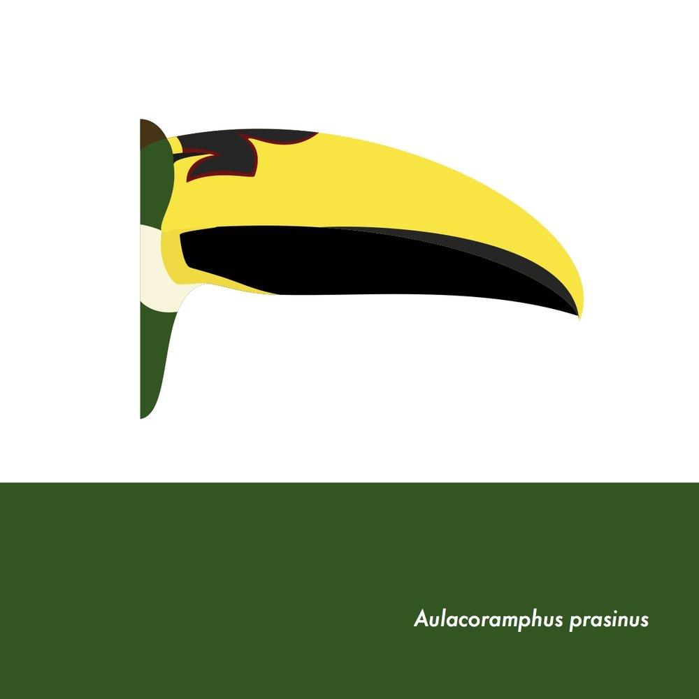 47-AulacoramphusPrasinus.jpeg
