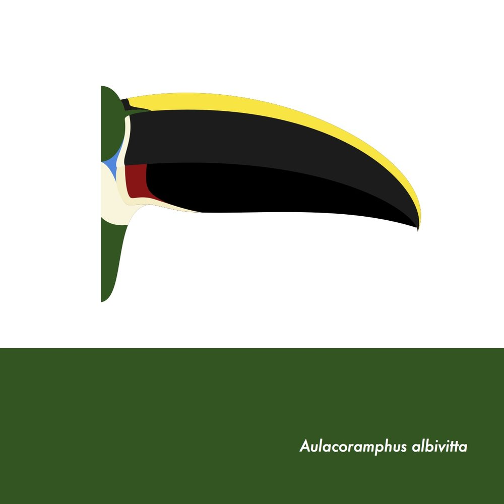 49-AulacoramphusAlbivitta.jpeg