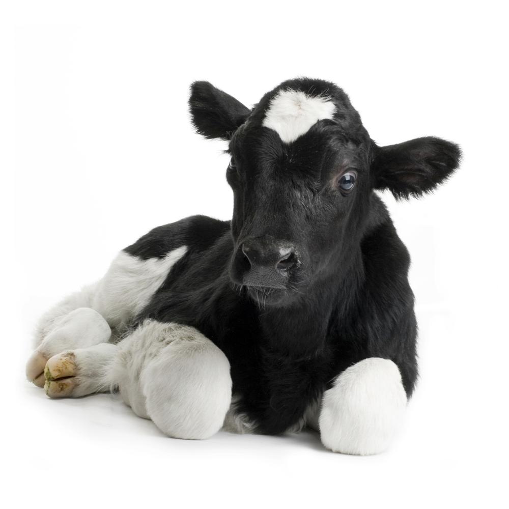 It take 8 hides of calves to make one sofa. -