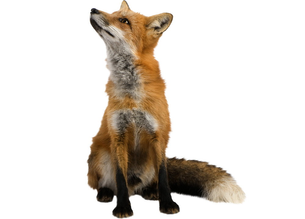 It can take up to 24 foxes to make one full-length coat. -