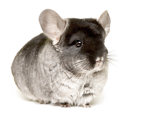 It takes up to 150 chinchillas to make a single full-length coat. -