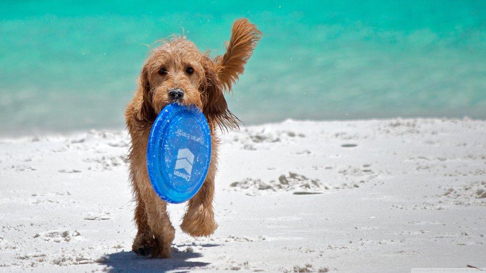 frisbee dog beach