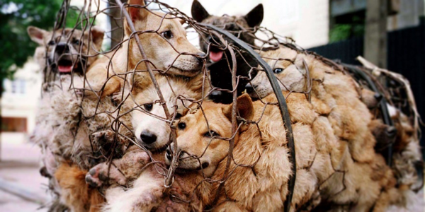 yulin china dog meat festival