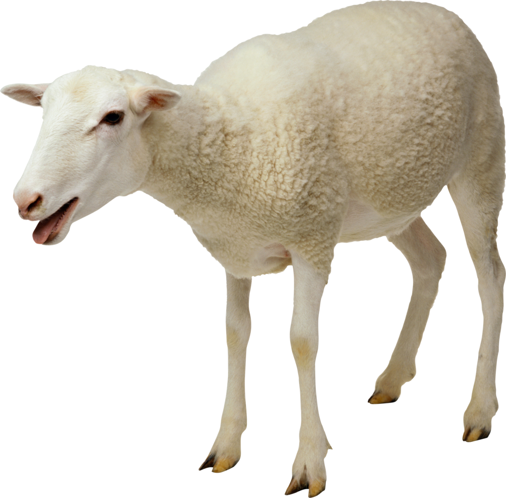 sheep.png