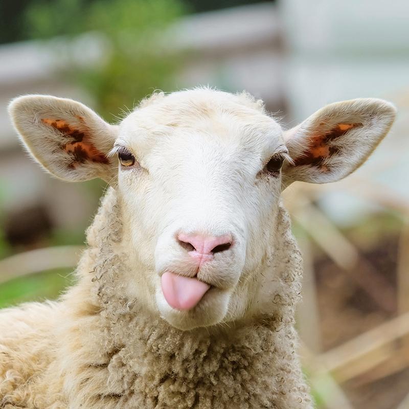 Funny-Sheep-Facts.jpg