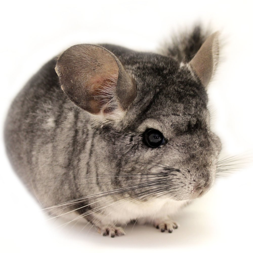 chinchilla_grey_edited_1.jpg