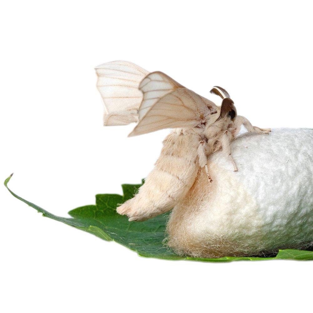 silk worm.jpg