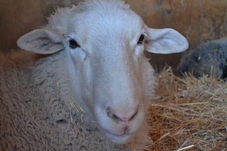 portraits_farm_an_farm_sanctuary460.jpg
