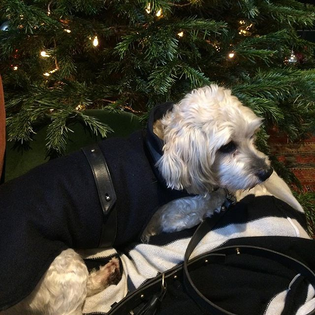 Hemingway in @hemingways_london classic coat......he would NOT look at the camera!! #diva #lovemydog #adorable #havaneseofinstagram