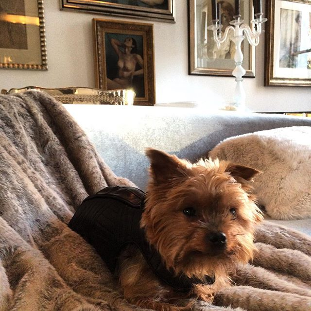 Our gorgeous client Lola ❤happy in her #bespoke leather @hemingways_london quilted leather coat #love #adorable #dogs #dogcoat