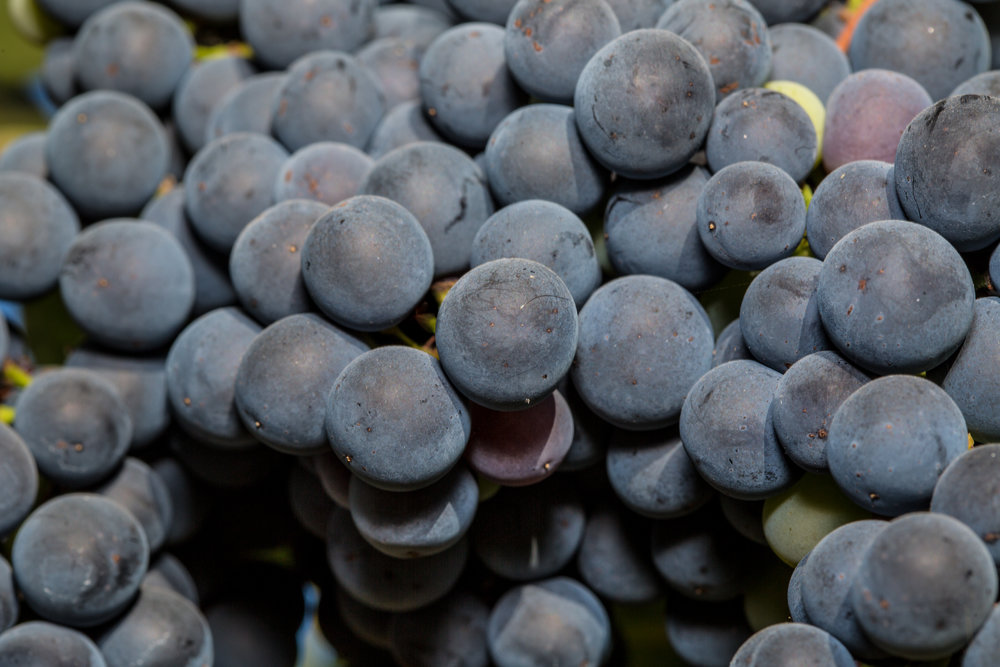 Tempranillo grapes from Paso Robles, CA. Credit: George Rose.