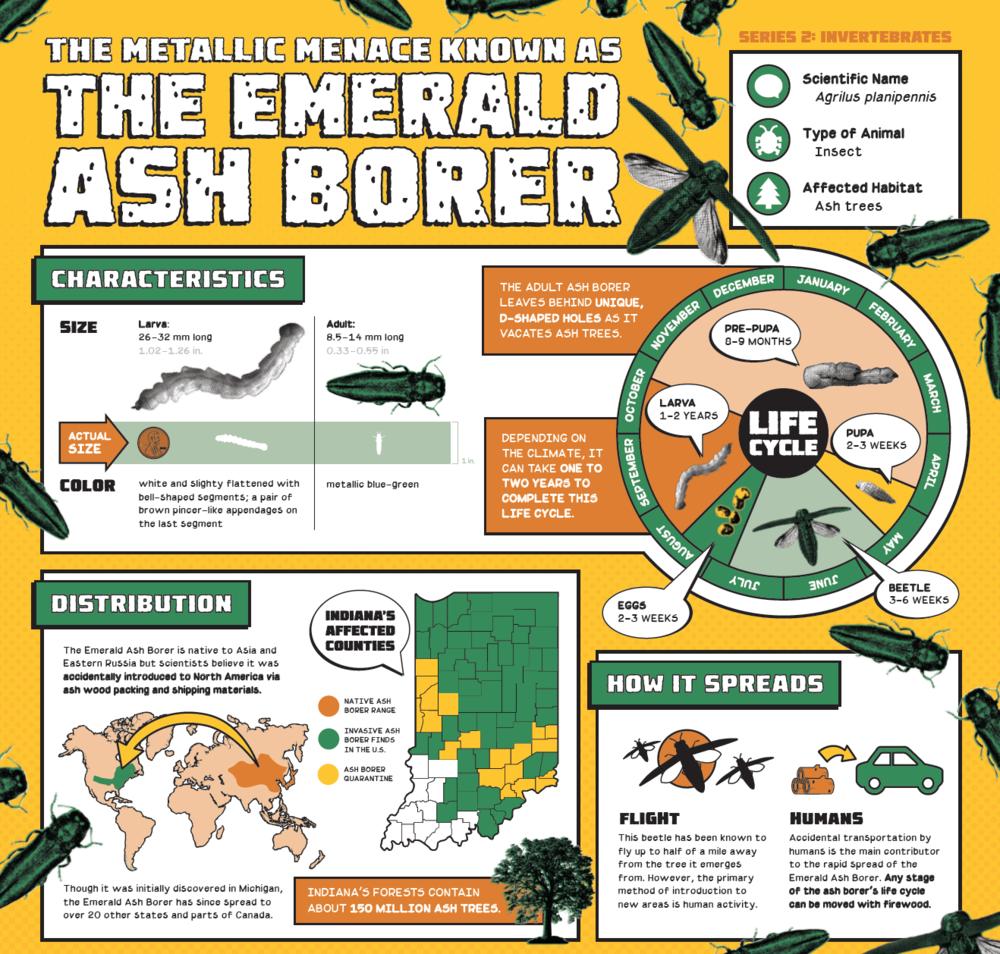Invasive Species Posters - Emerald Ash Borer detail