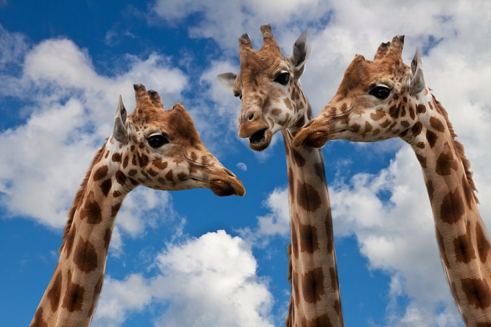 giraffe talking.jpg