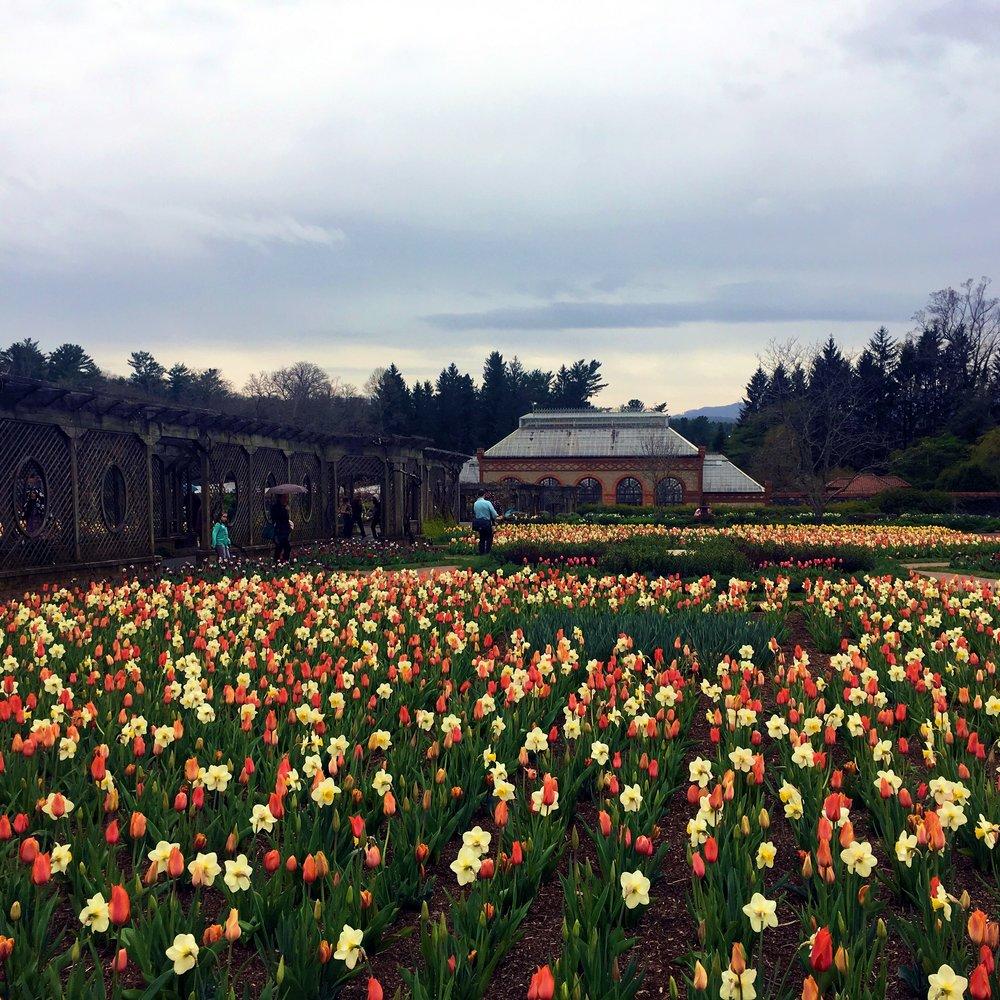 Tulips In Bloom @ Gardens