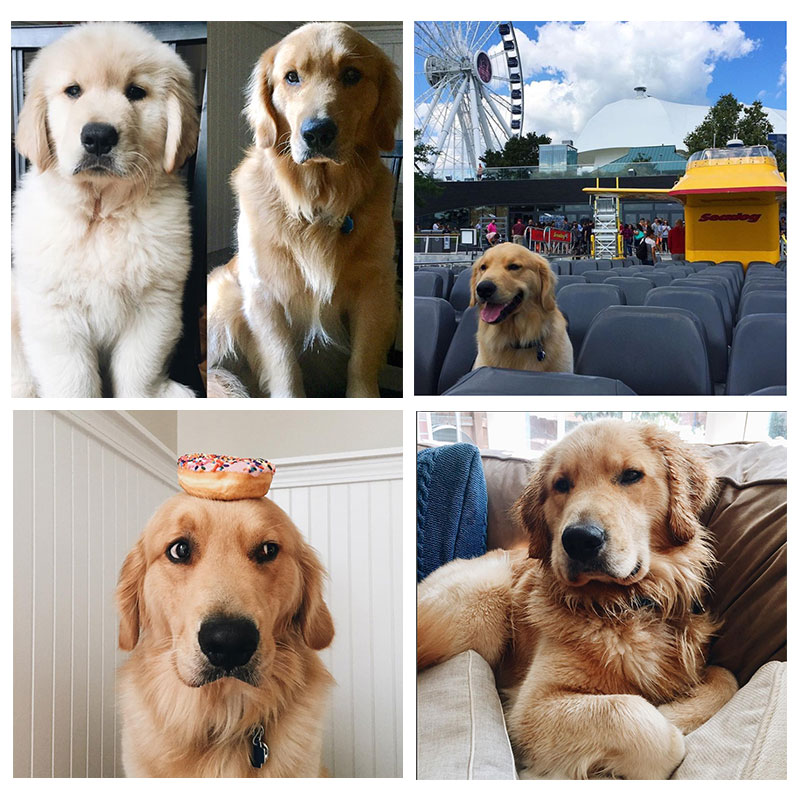 Find Bauer on Instagram-  @bowwow_bauer_thegolden