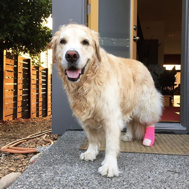 I present to you... Princess Pretty Princess in her pink bandage 👑 (she is not amused, but she is fine after having minor foot surgery). The ball playing will recommence soon!