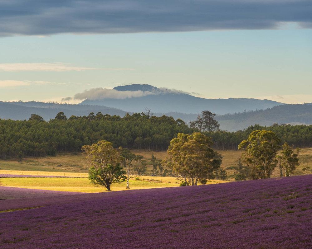 Lavendar fields 2.jpg