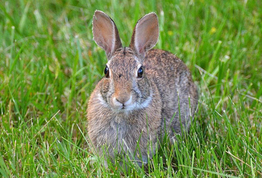 rabbit front.jpg