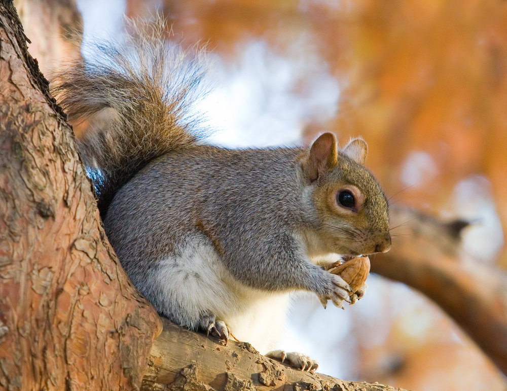 Eastern_Grey_Squirrel_in_St_James's_Park,_London_-_Nov_2006_edit.jpg