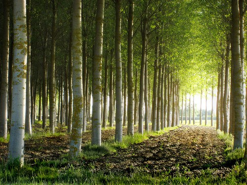 Eukalyptus plantaasi