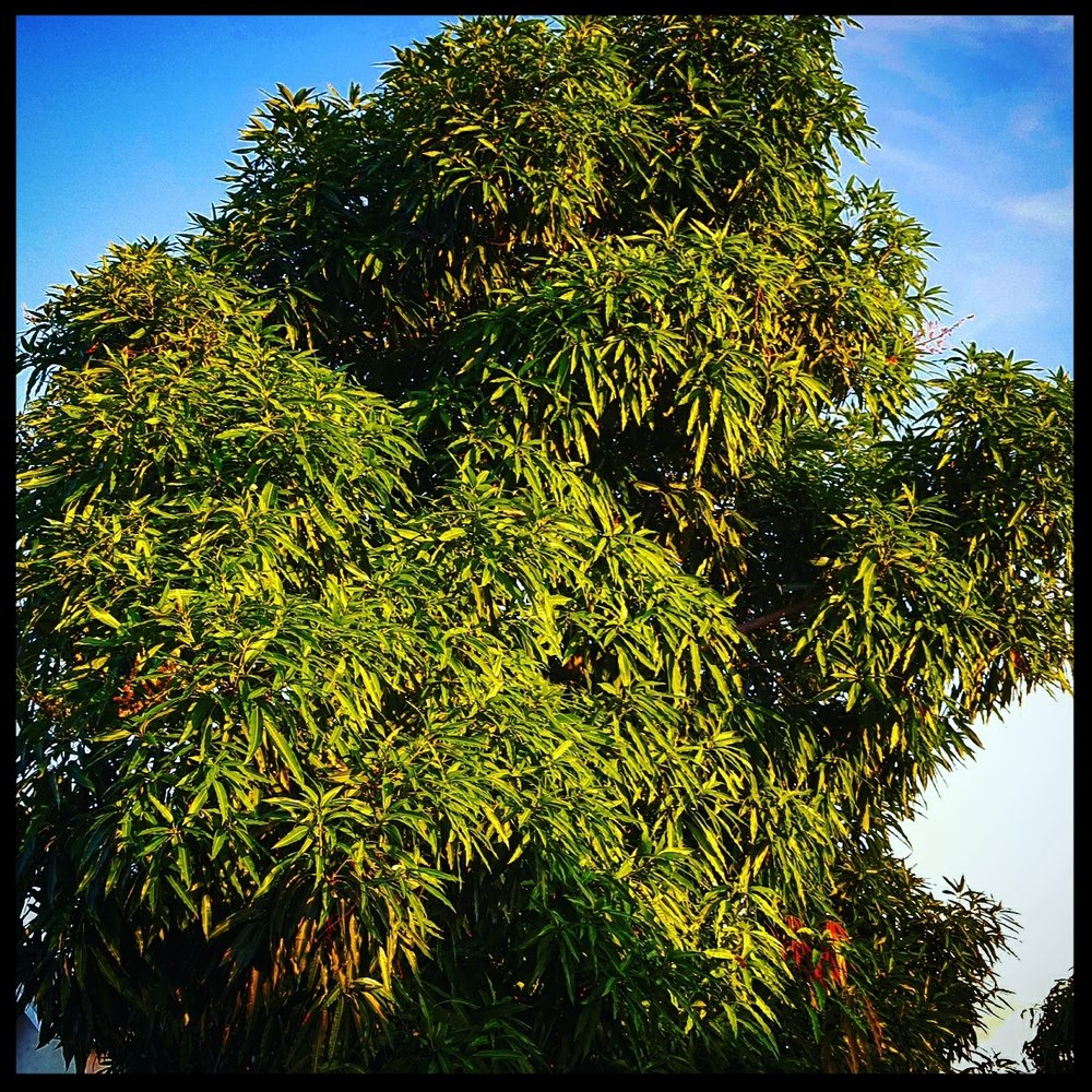 I bet you didn't know you could learn so much from a mango tree!