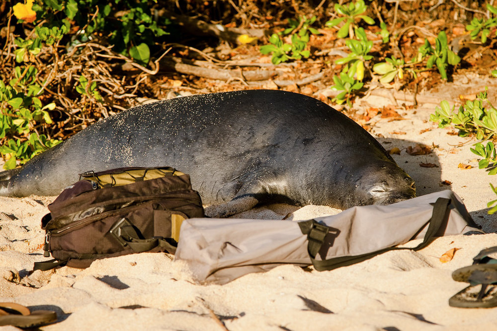 A monk seal crawled out of the surf one day during a maternity shoot and decided my camera bags were the perfect place to nap!