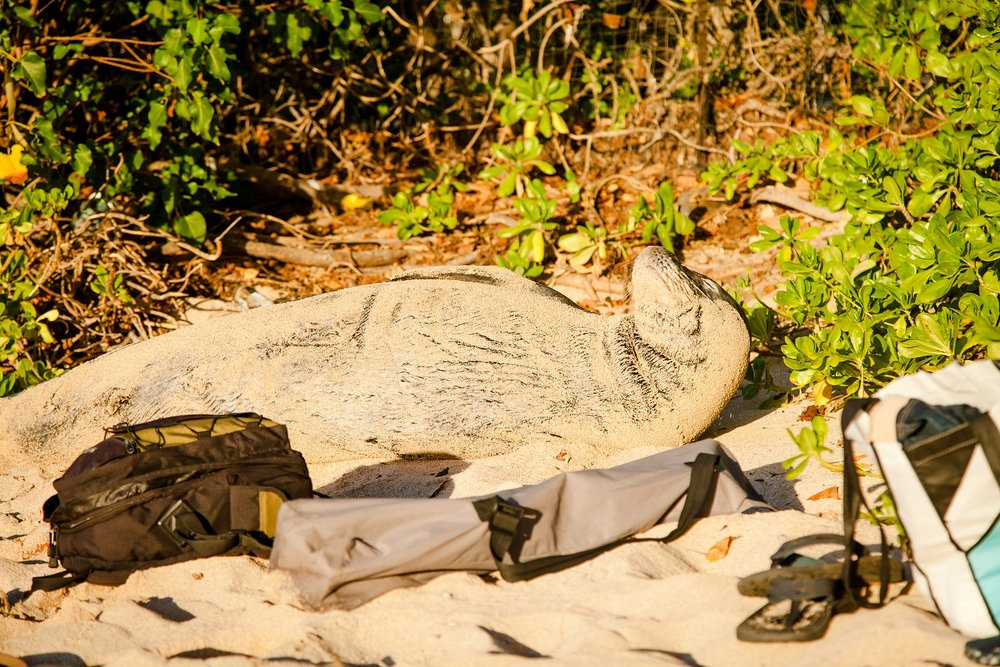 The Hawaiian Monk Seal is endangered, with only about 1000 of them left.