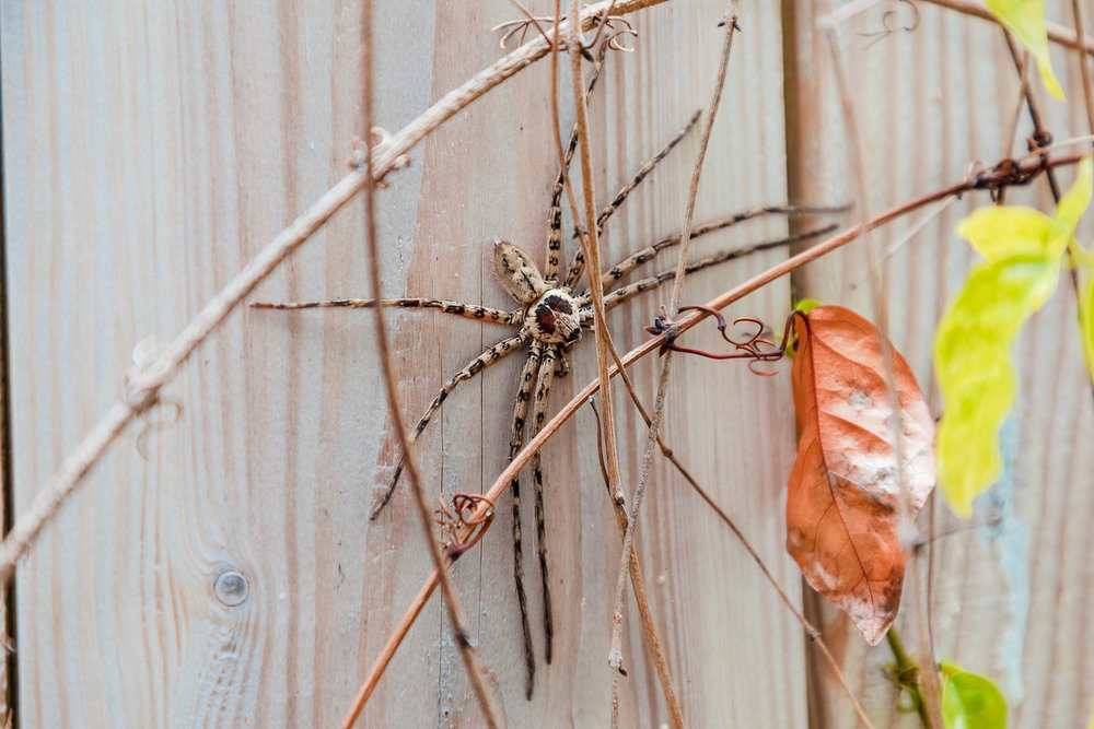 Good news: Hawaii has few spiders. Bad news: The ones they do have are BIG! This guy was 5 inches from leg tip to leg tip. I measured. :-)