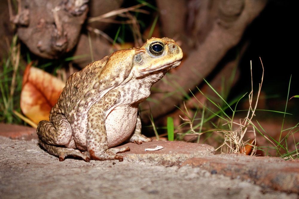The Cane Toad is an invasive species, not native to Hawaii. It's the size of a big man's fist and has poison glands potent enough to kill dogs. They are indiscriminate and voracious eaters.