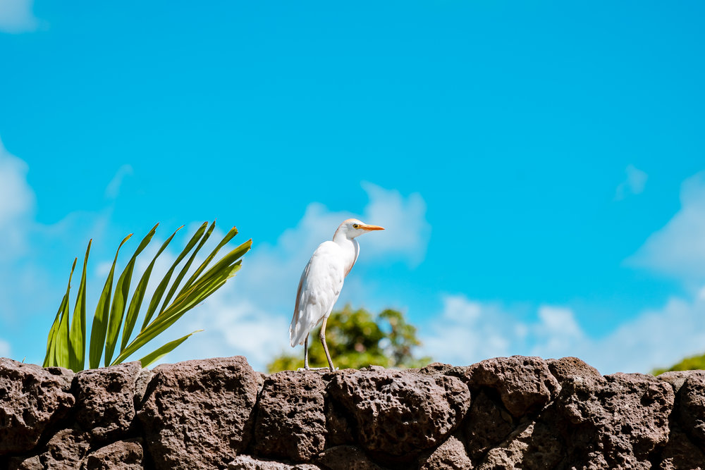 White cattle egret. Not native, but much loved as they keep the insect population down.