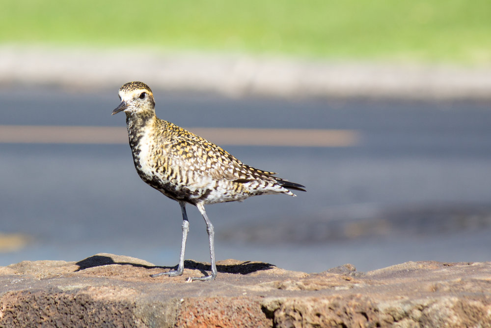 Pacific Golden Plover. Like the Humpback whale, they summer in Alaska and migrate to Hawaii in the winter. Smart birds!