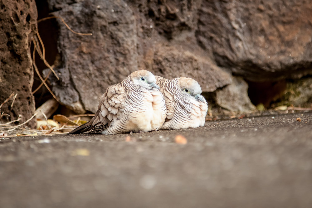 Zebra doves are so calm around people I have literally caught one by hand as I walked past by simply bending down and grabbing it. They are almost always seen in pairs, rarely alone.