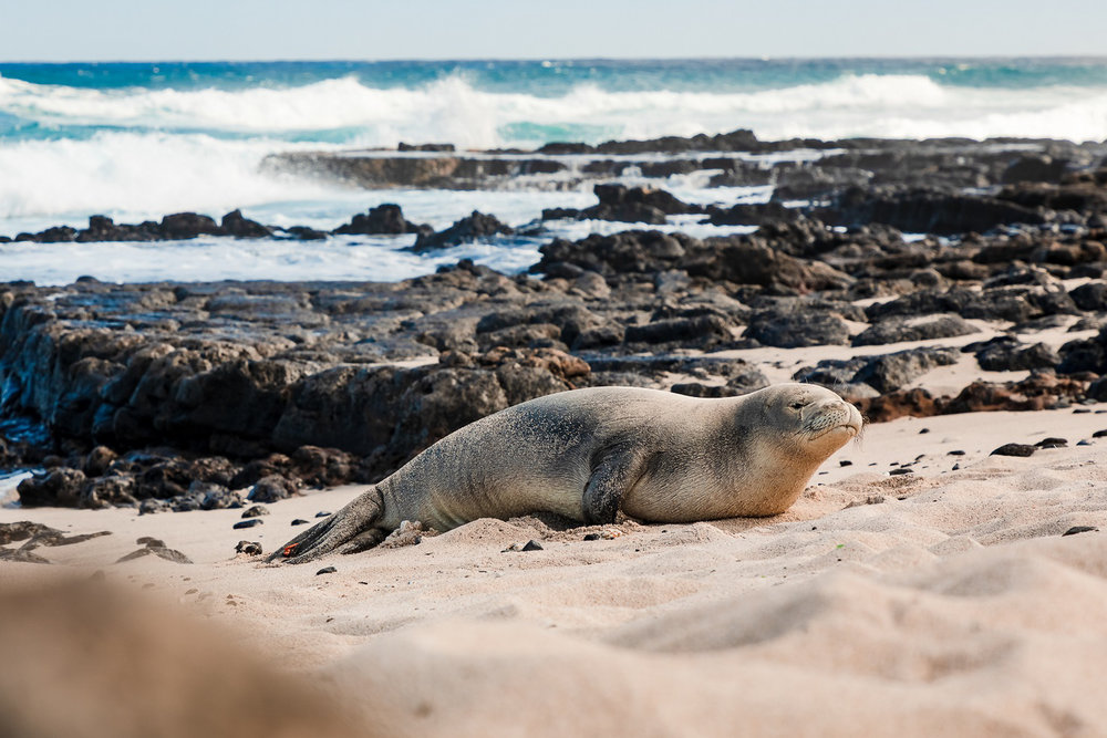 And one more Monk Seal photo