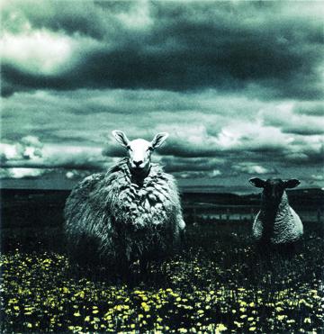 sheep jpg