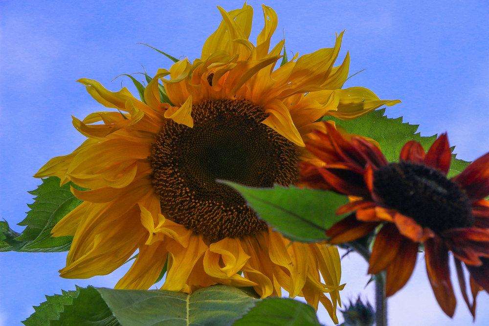 7000_sunflowers.jpg