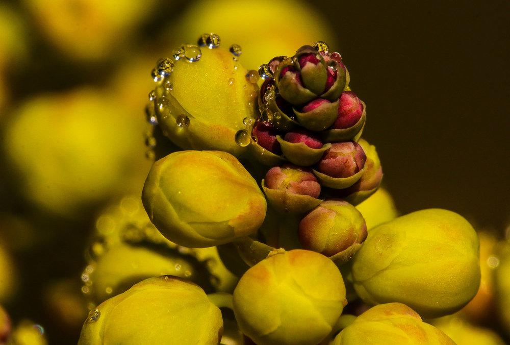3299_oregon_grape_blossoms.jpg