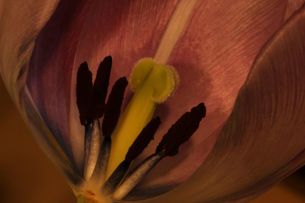 3389_tulip_stame_pistil.jpg