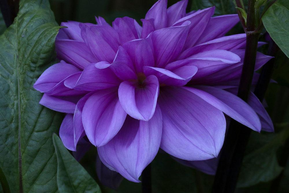 3859_lavender_dahlia_i.jpg