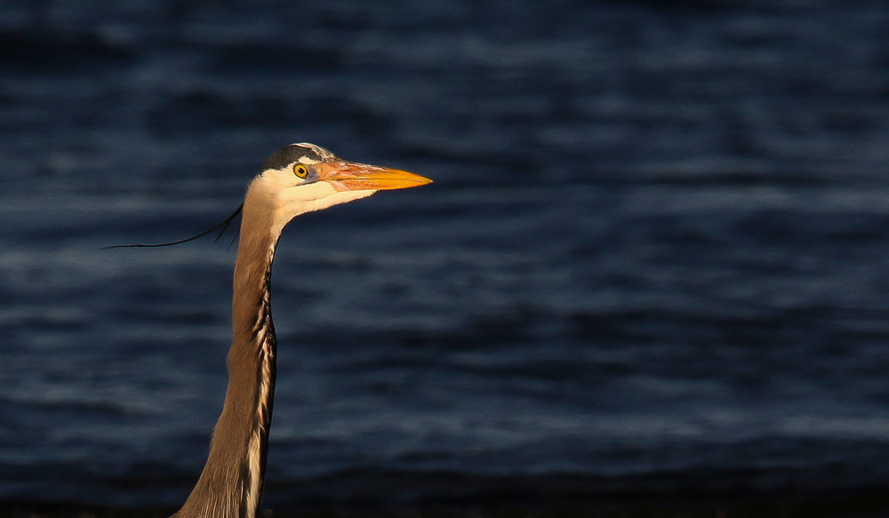 4030_heron_head_close_up.jpg