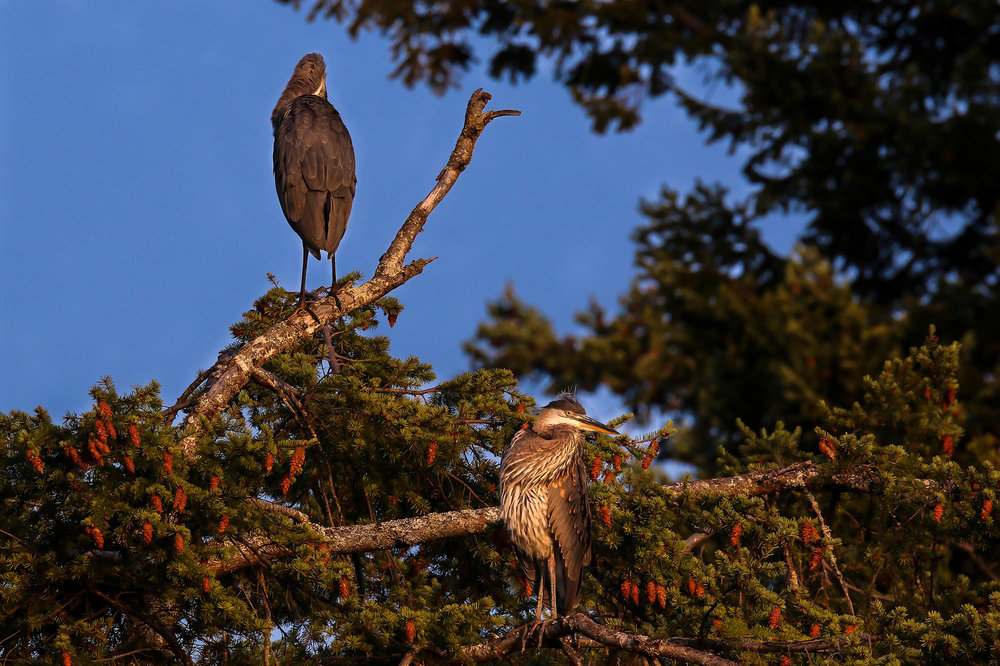 4656_2herons_in_tree.jpg