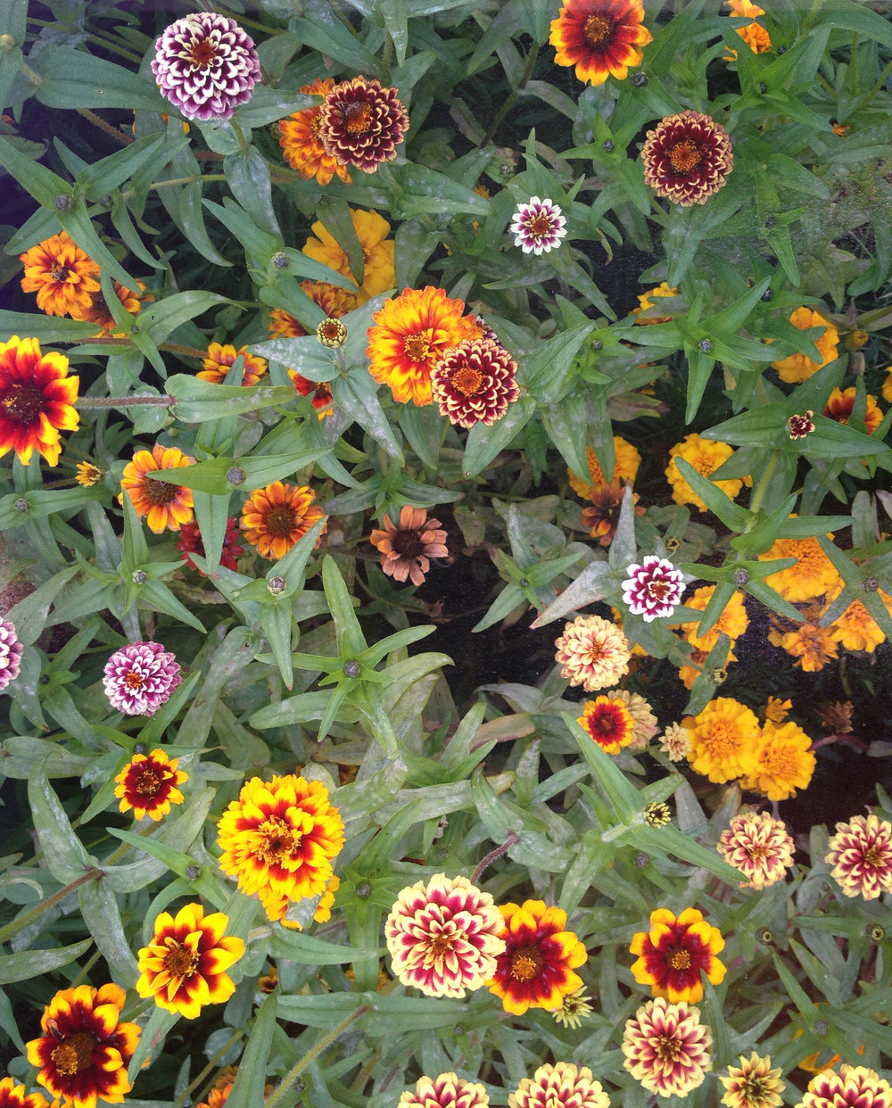 Jazzy Mix Zinnias:  Wide range of interesting flower designs, like little floral spirographs. Don't look too zinnia-y.   Next year: Yes    ,   but combined with something other than marigolds to showcase the color range. Maybe something blue.